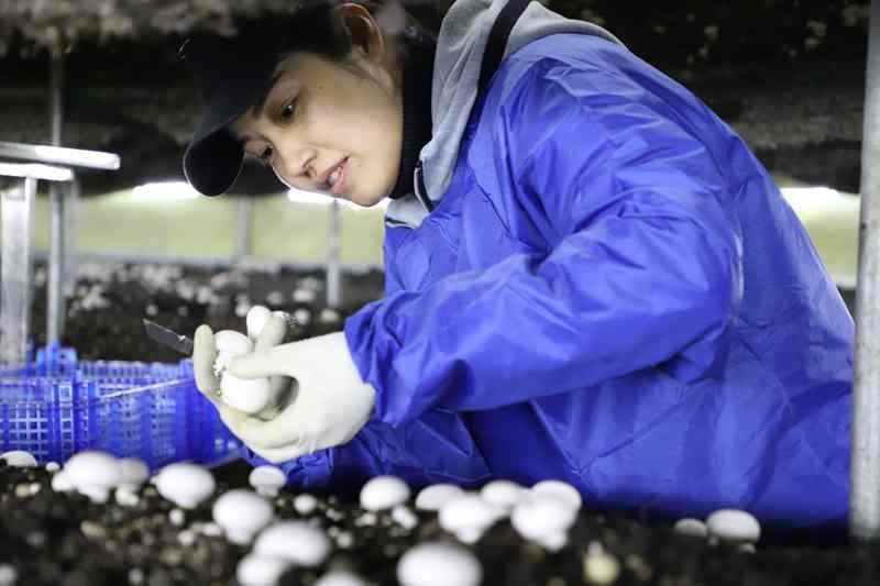 """小小雙孢菇做出產業脫貧""""大文章"""" 雙孢菇,明水縣,黑龍江省,余戶,互助"""