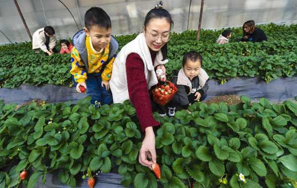 河北香河:冬季草莓誘賓客