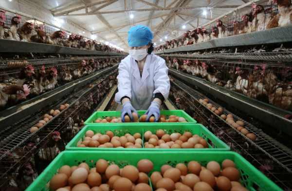 穩定畜禽生產保障產品供應
