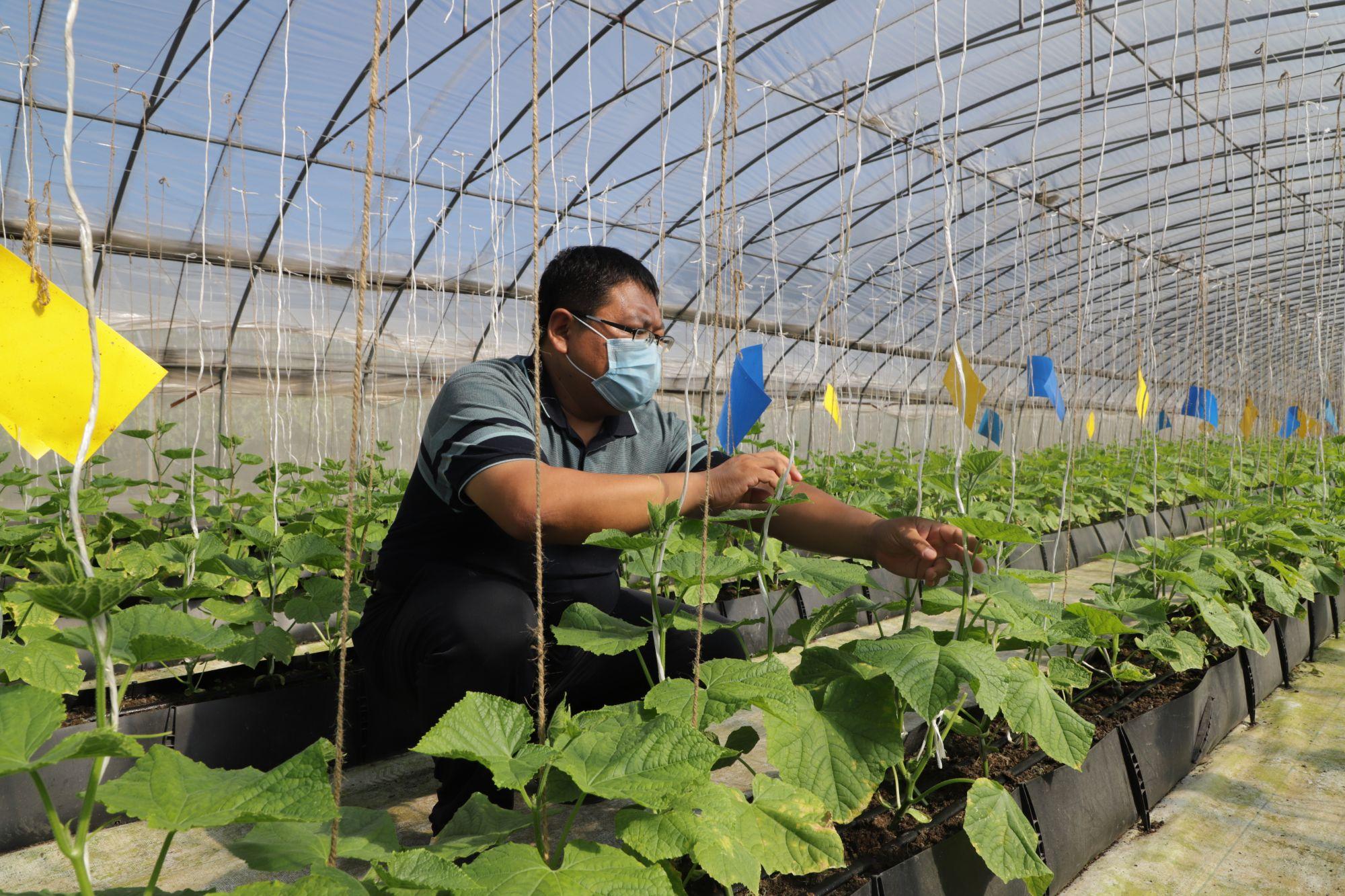 1.技术员正在检查基质栽培秧苗的生长情况。王琳琳 摄