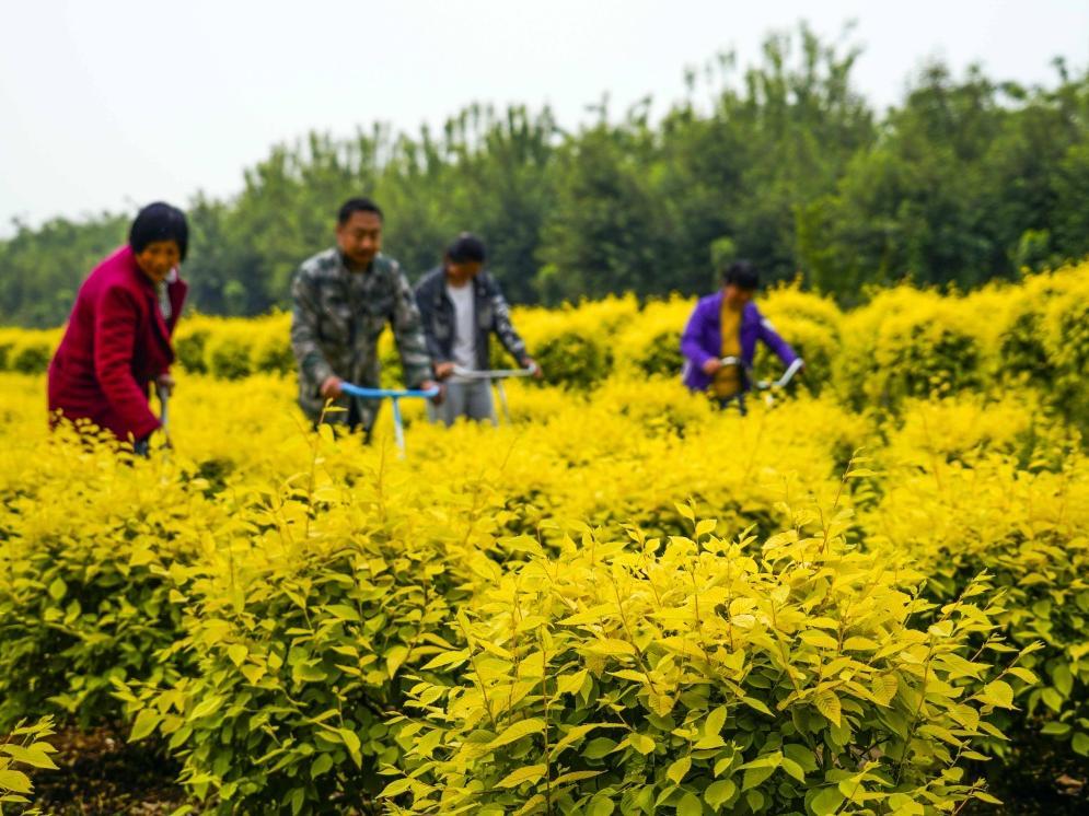 河北遵化:培育景观苗木助增收