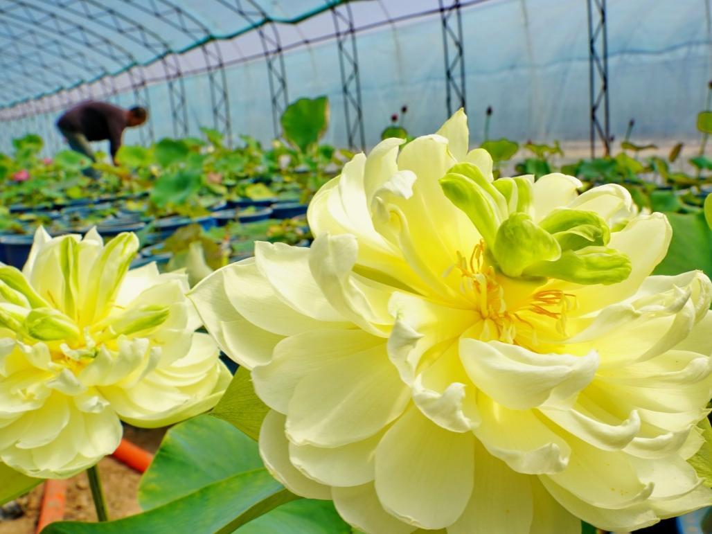 河北灤州:種植觀賞荷花助增收