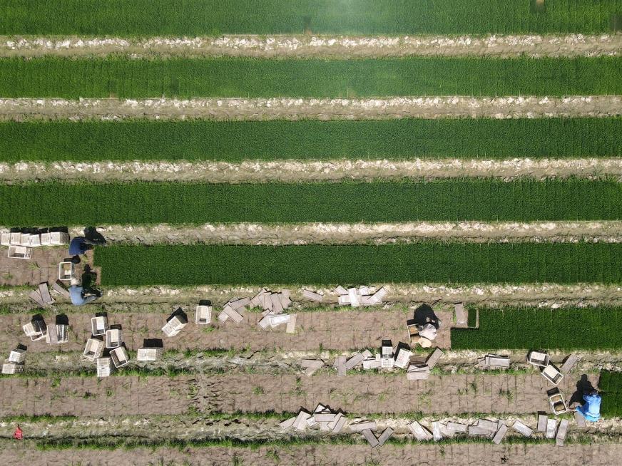 安徽肥西:水稻插秧忙