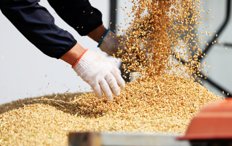 山东5985万亩小麦开始收获