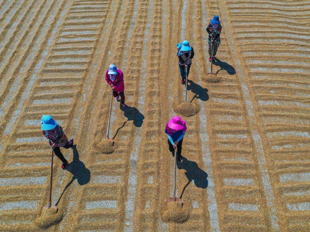 山东小麦收获已近九成